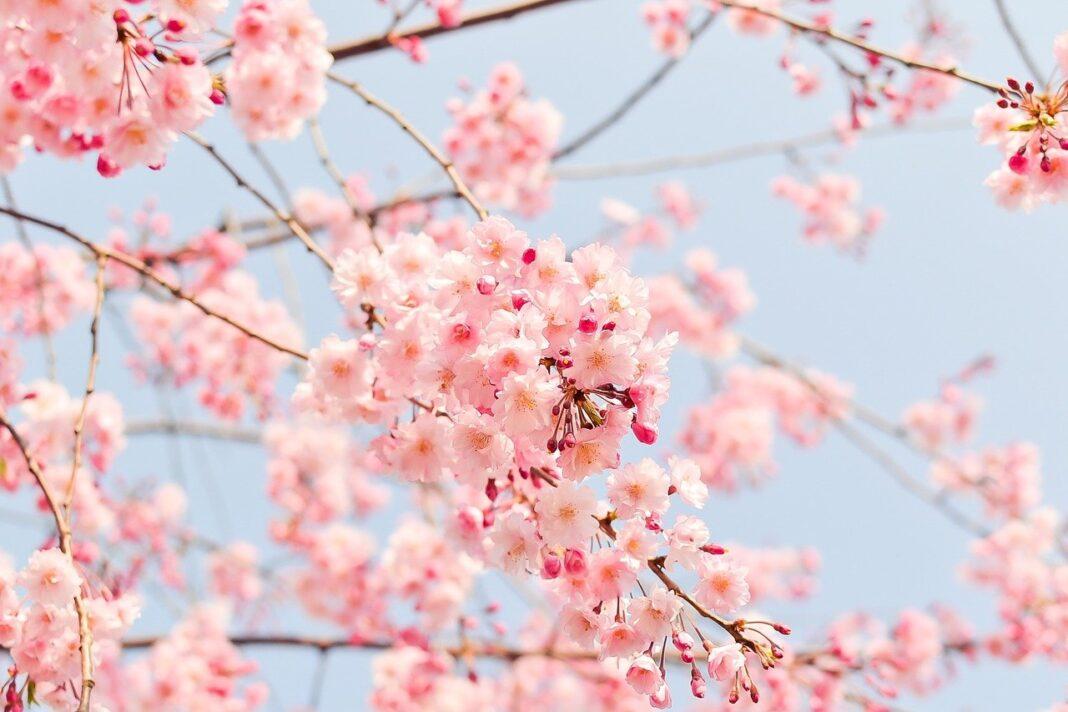 fiori di ciliegio primavera