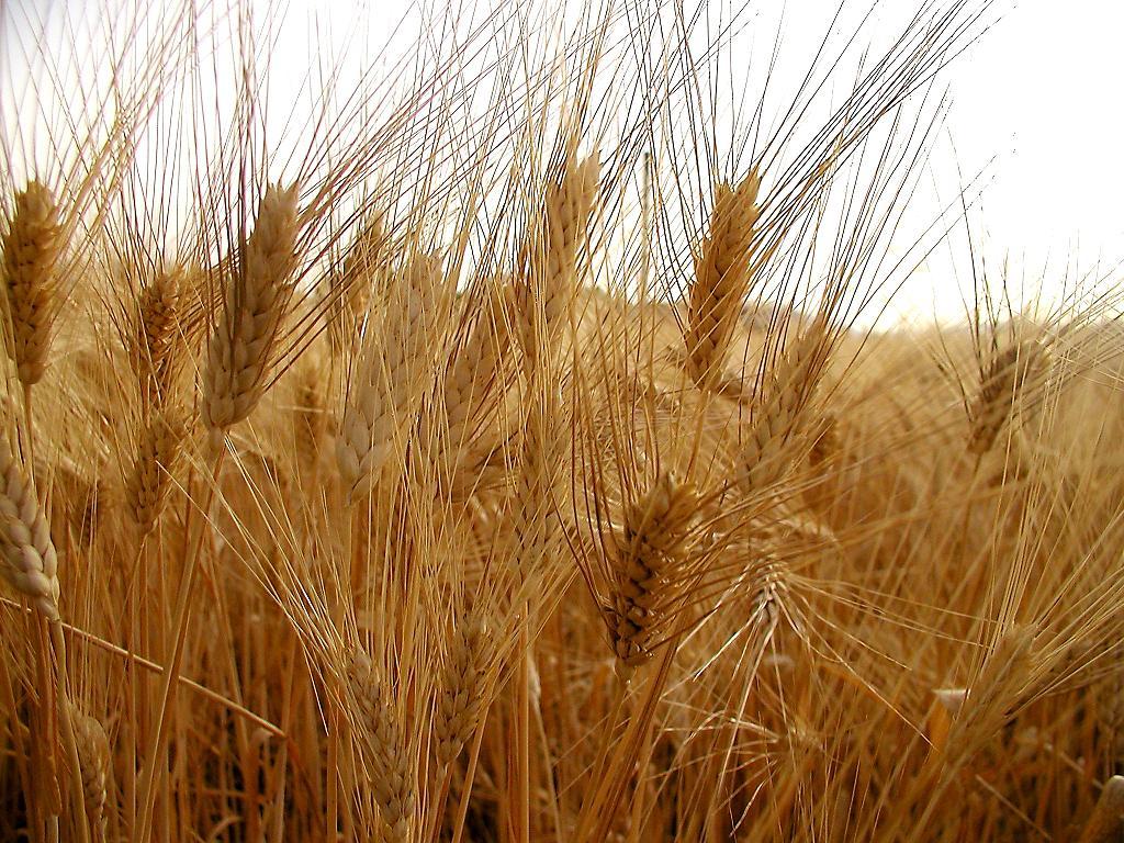 Disegni Piante Erbacee : Proprietà dei cereali