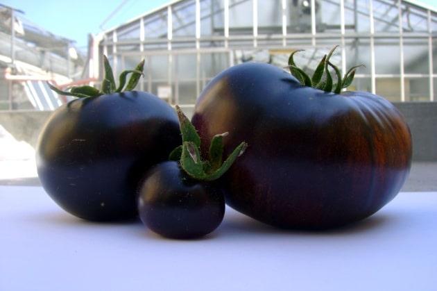 pomodoro nero sun-black