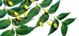 L'olio di neem per la bellezza di pelle e capelli