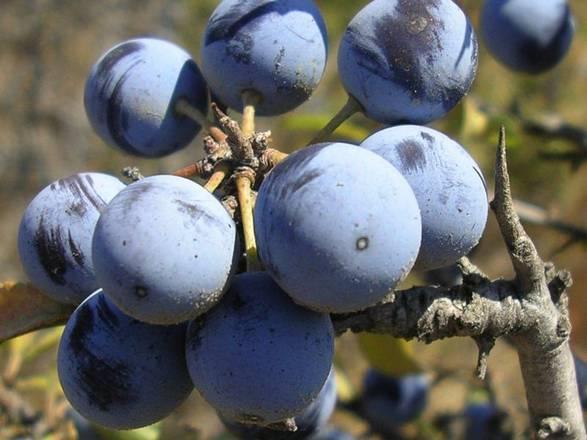 Prunus spinosa integratore contro tumore