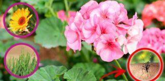 piante-anti-zanzare