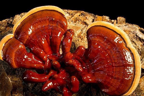 Olio da un fungo su una gamba a