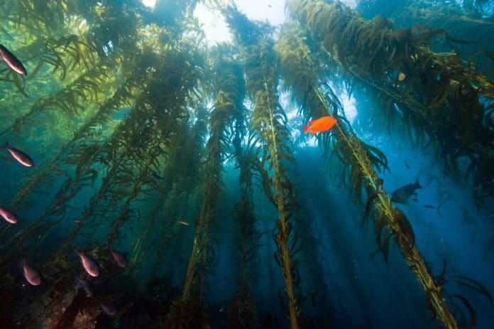 alga benefici