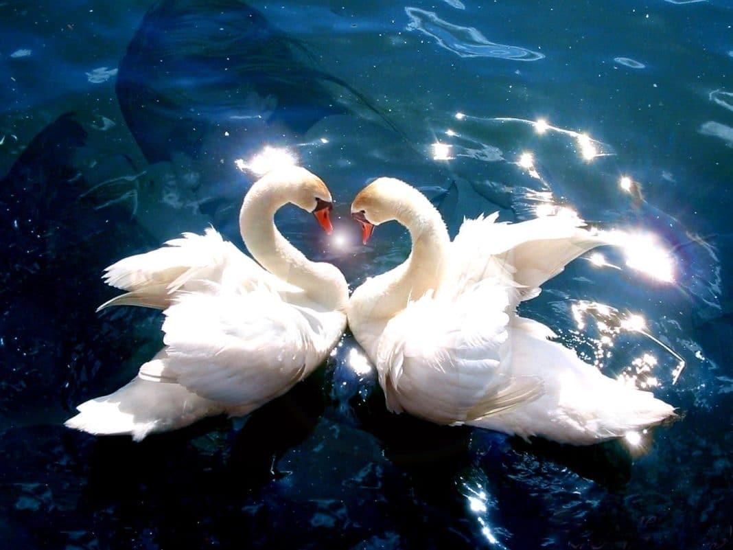 cigno amore