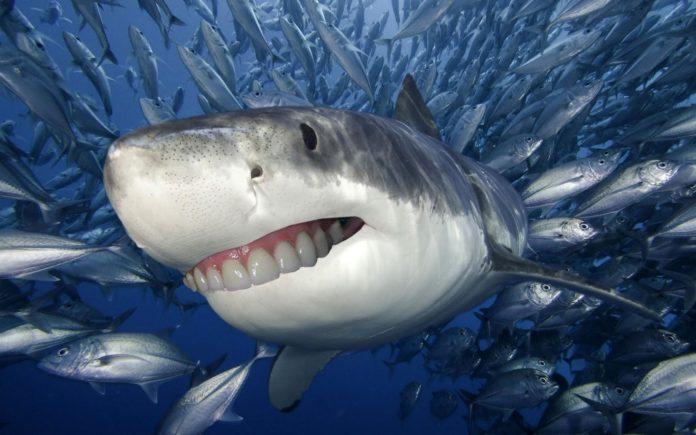 denti squalo