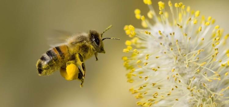 cera d api
