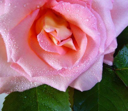 acqua di rosa