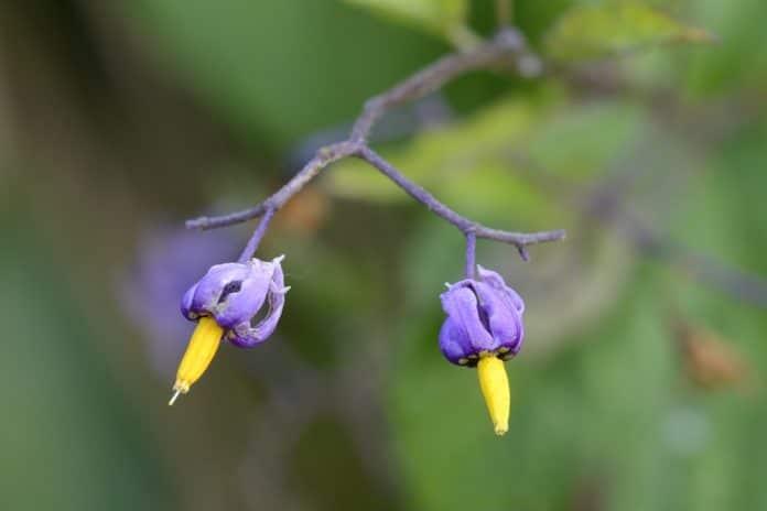 dulcamara-pianta-verruche