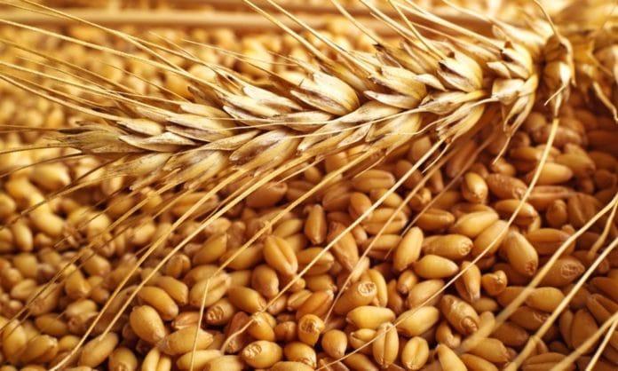 grano-monococco