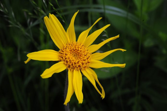 arnica-compositum-montana
