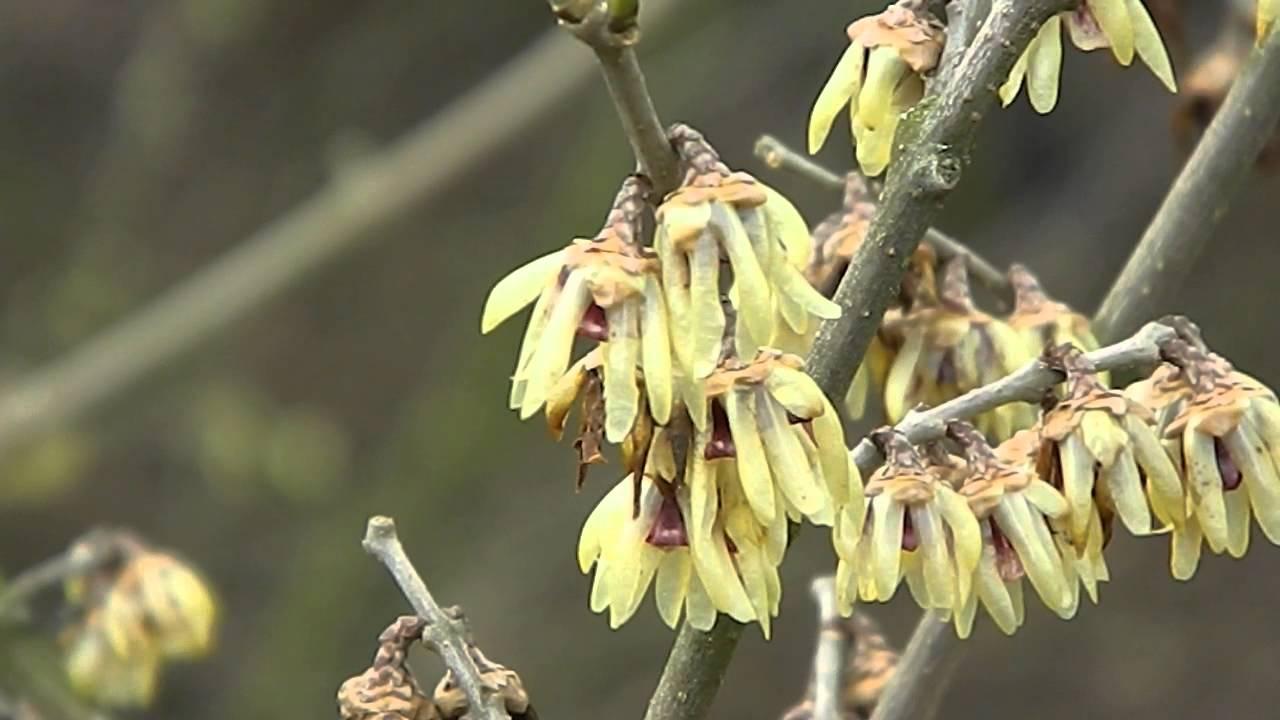 Calicanto Fiore D Inverno calicanto: usi e benefici - vivo di benessere