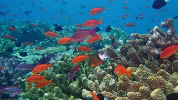 caraibi barriera corallina