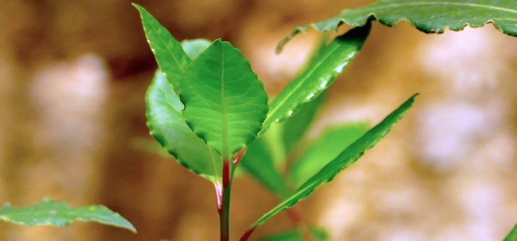 foglie d'alloro