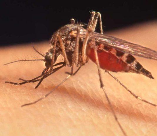zanzare ledum