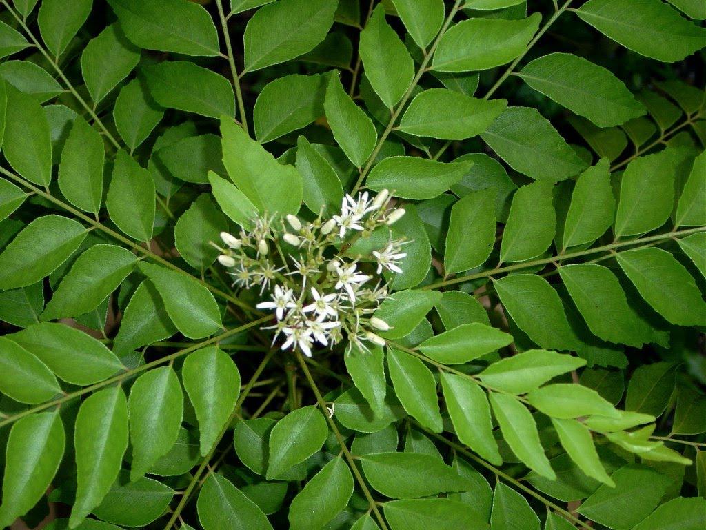 foglie di curry