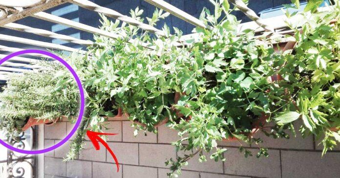 erbe-aromatiche-balcone