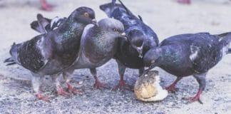 come allontanare piccioni