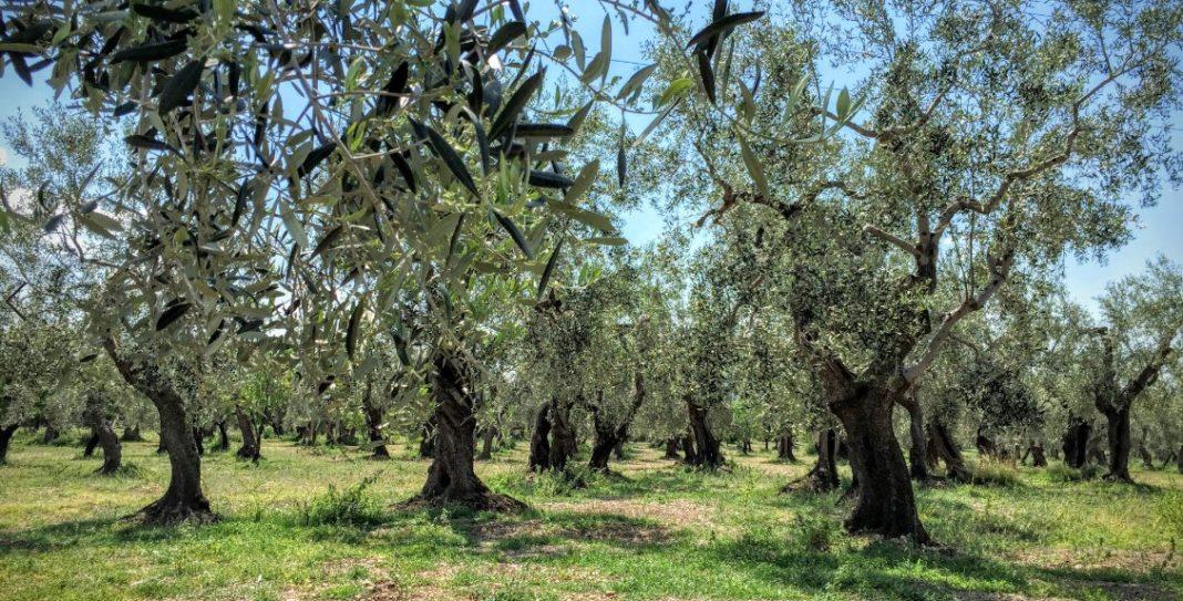 olivo pugliese