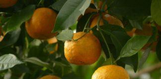 olio essenziale arancio amaro neroli