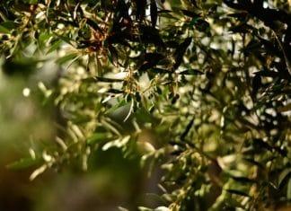benefici_foglie_ulivo
