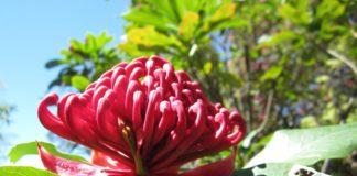 fiori_australiani