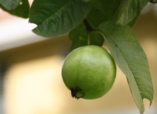 foglie-di-guava-benefici