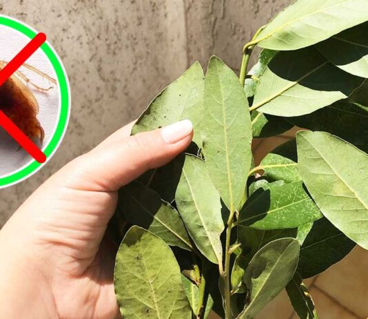 scarafaggi-blatte-rimedi-naturali