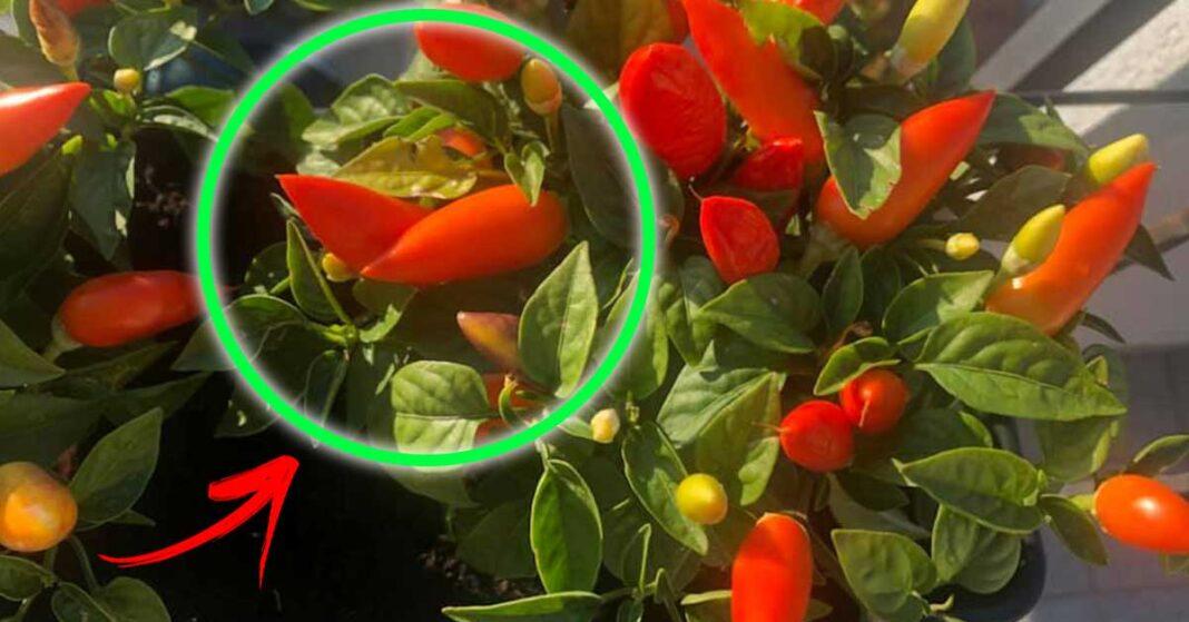 coltivare-peperoncino-casa