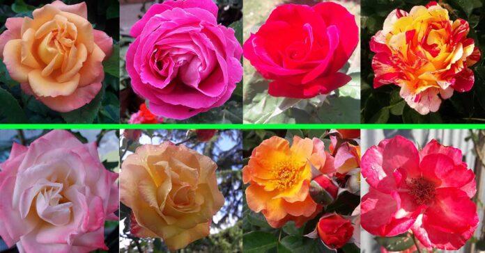 come-avere-rose-bellissime