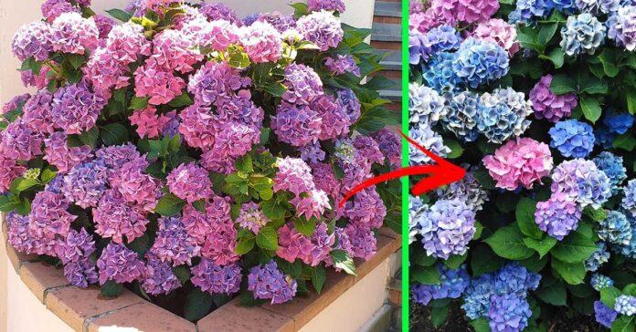 fiori-ortensie