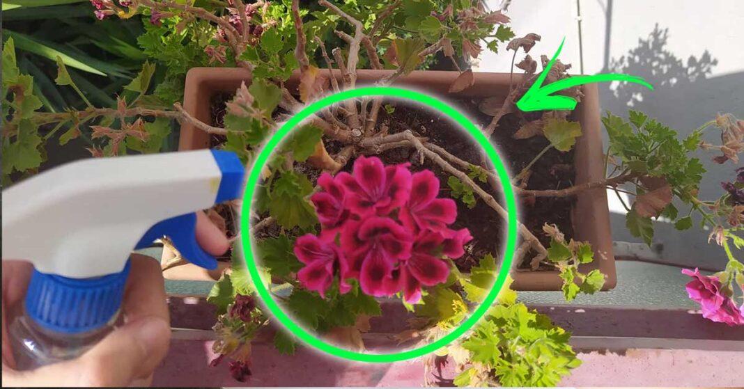 gerani-giardino