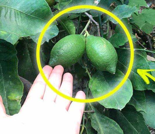 come-coltivare-limoni