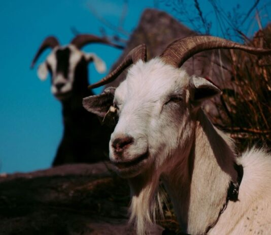 capre-galles-salvano-ospizio