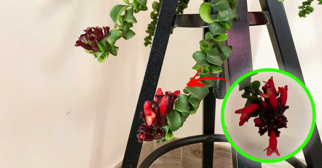 fiore-rossetto