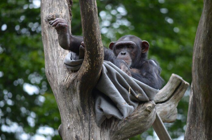 uganda-tre-milioni-di-alberi-per-aiutare-gli-scimpanze