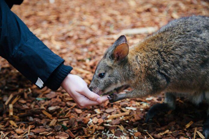 bettong-marsupiale-Victoria
