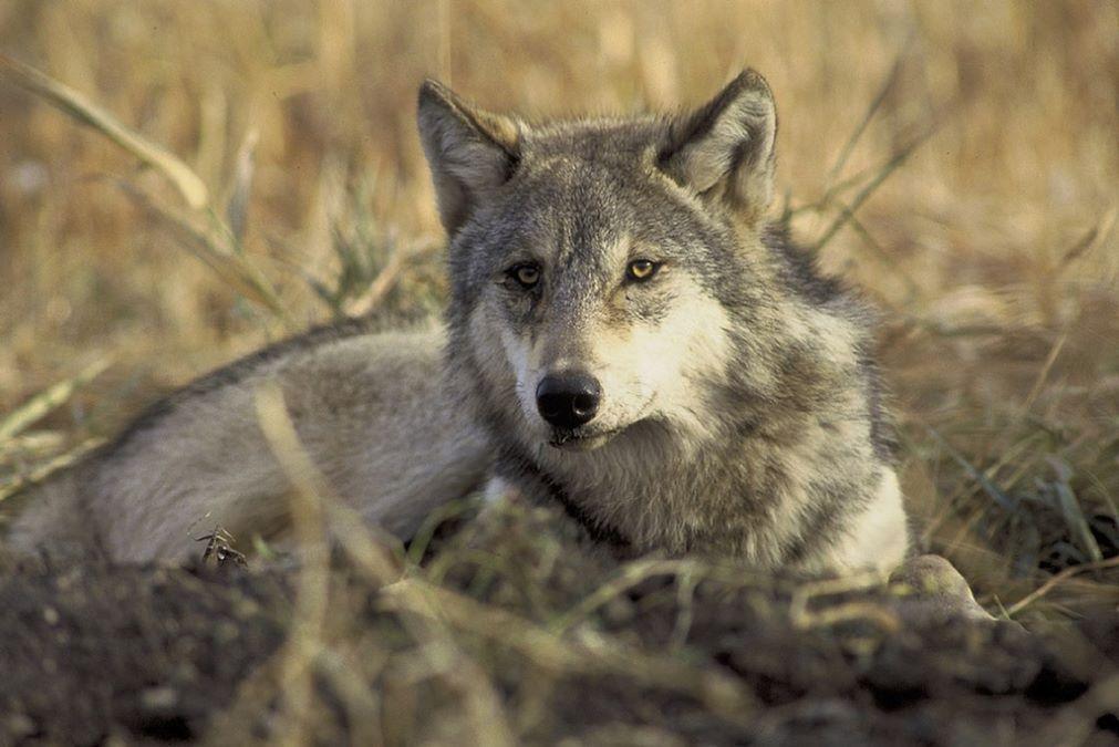 lupi-grigi-non-più-specie-protetta