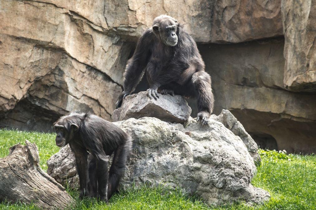 scimpanzé-anziani-pochi-amici-ma-buoni