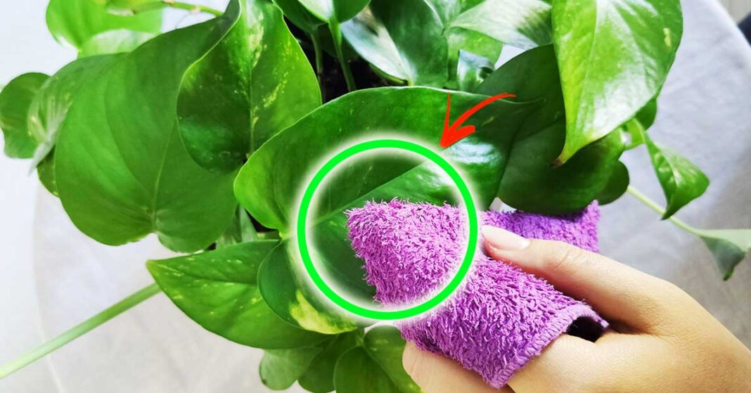 pulire-foglie-piante