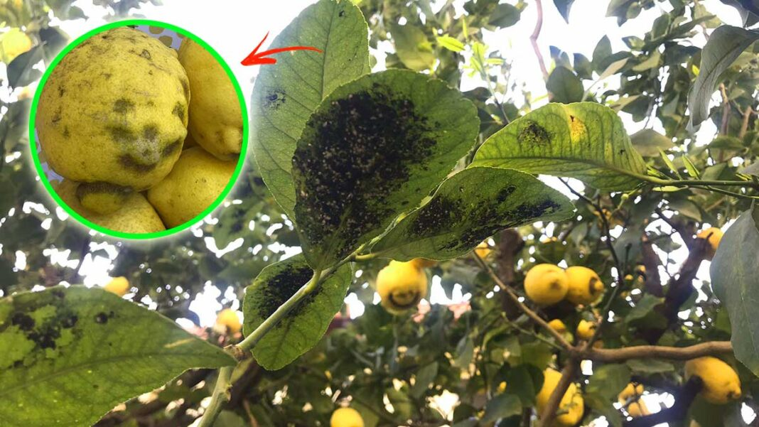 limoni-patina-nera-foglie-nere