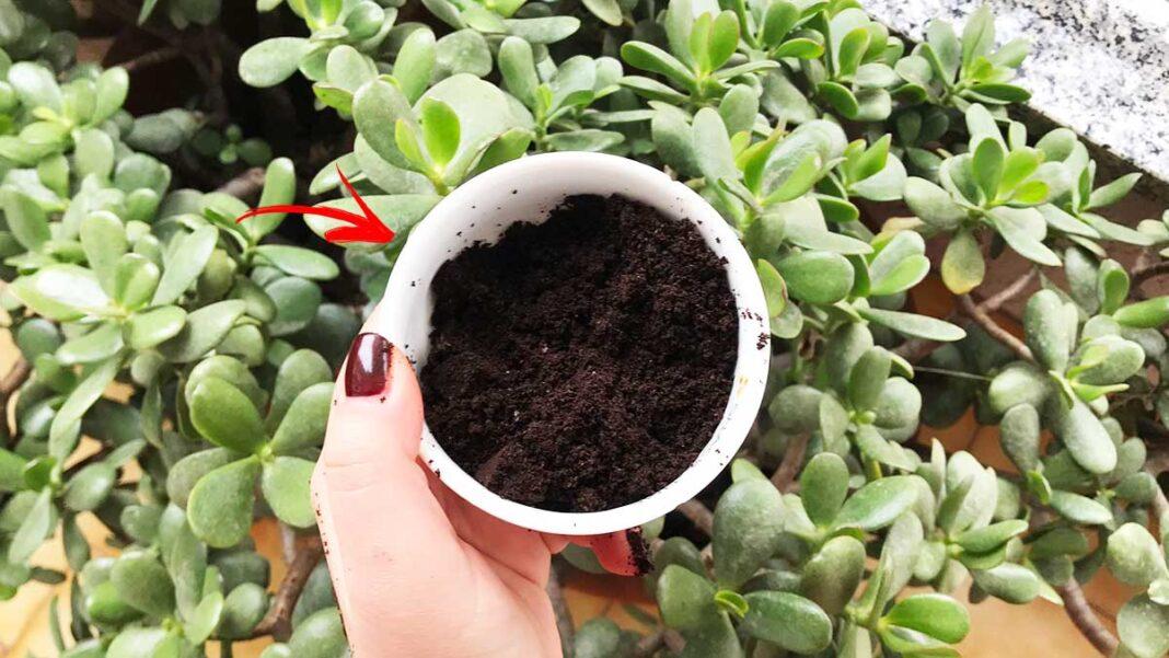 quando-usare-fondi-caffè-piante