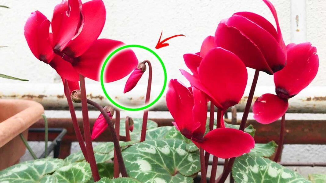 far-fiorire-ciclamino-a-marzo
