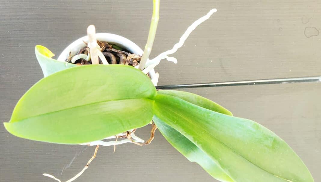 orchidea-non-fa-fiori