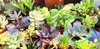 quali-piante-grasse-scegliere