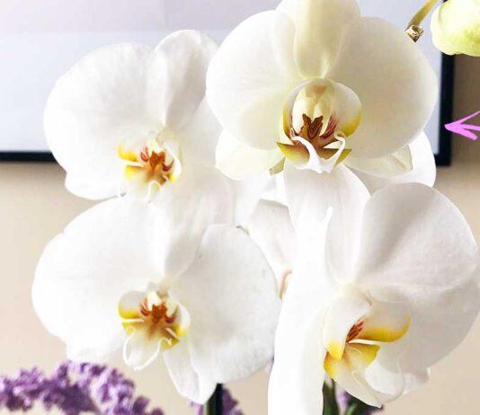 come-far-fiorire-orchidea-per-molto-tempo