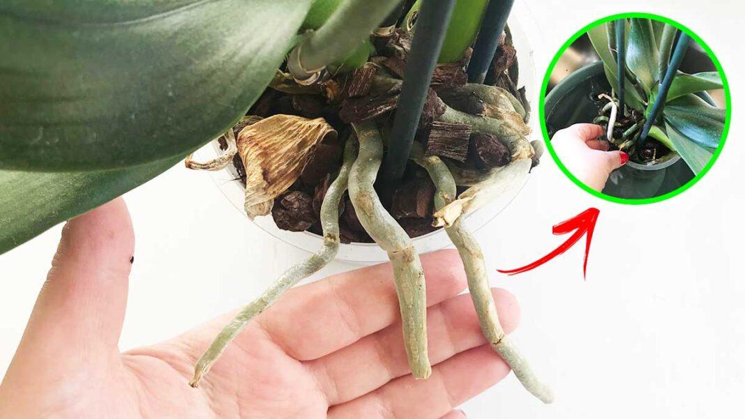 come-annaffiare-orchidea-estate