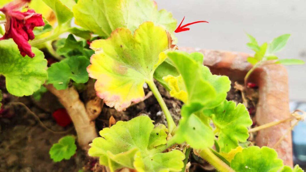 gerani-foglie-gialle