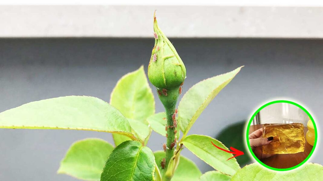 pidocchi-rose