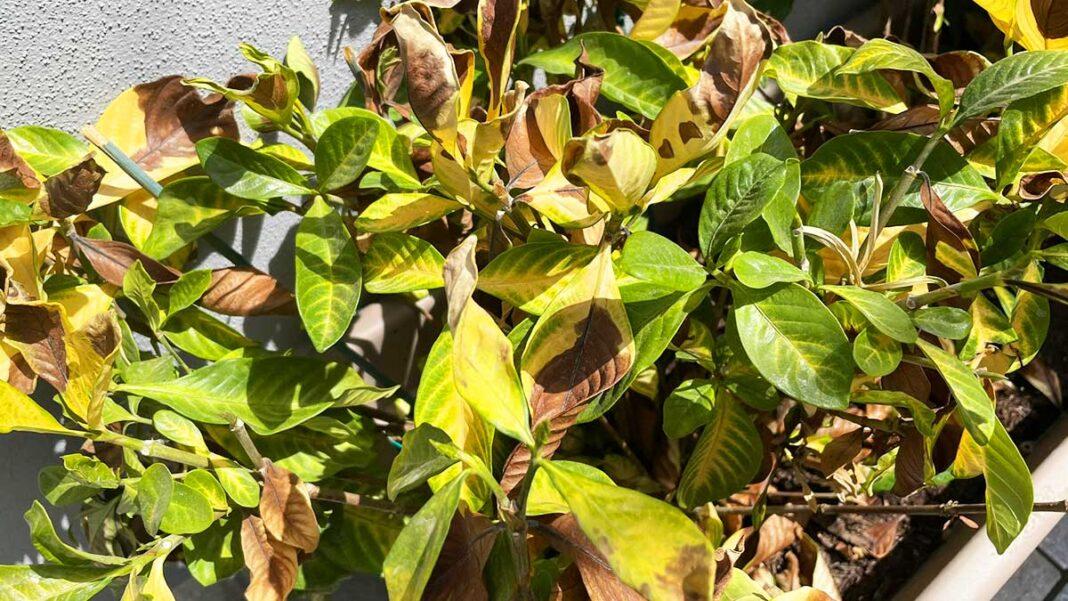 piante-bruciate-sole
